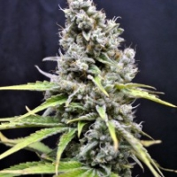 Skunk Haze Feminised Cannabis Seeds