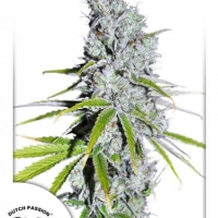 CBD Skunk Haze Feminised Cannabis Seeds | Dutch Passion
