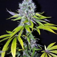 Yummy Feminised Cannabis Seeds