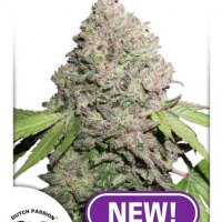CBD Charlotte's Angel Feminised Cannabis Seeds | Dutch Passion