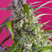 Crystal Candy Auto Feminised Cannabis Seeds | Sweet Seeds