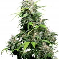California Indica Feminised Cannabis Seeds | Sensi Seeds