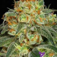 California Kush Feminised Cannabis Seeds - Anesia Seeds