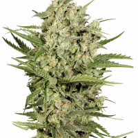 Cheese Feminised Cannabis Seeds | Seed Stockers