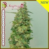 Chemdog Millionaire Feminised Cannabis Seeds | Dr Krippling
