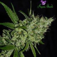 Chemdog Feminised Cannabis Seeds - Anesia Seeds