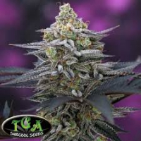 Cherrygasm Regular Cannabis Seeds | TGA Seeds