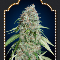 Chocolate Skunk CBD Feminised Cannabis Seeds | OO Seeds