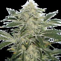 Creamy Kees Regular Cannabis Seeds - Super Sativa Seed Club