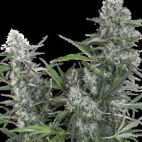 Creeper Regular Cannabis Seeds - Super Sativa Seed Club