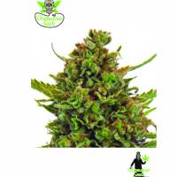 Critical M Feminised Cannabis Seeds | Dispensario Seeds