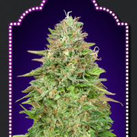 Critical Poison Fast V Feminised Cannabis Seeds | OO Seeds