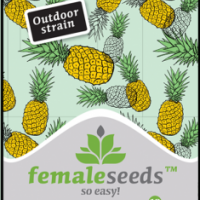 Critical Sour Feminised Cannabis Seeds | Female Seeds