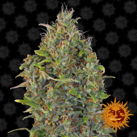 Critical Kush Auto Feminised Cannabis Seeds | Barney's Farm