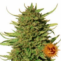 Critical Kush Regular Cannabis Seeds | Barney's Farm