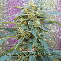 D.K. Won Feminised Cannabis Seeds | Dr Krippling
