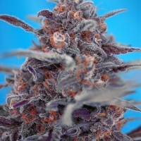 Auto Devil Cream Feminised Cannabis Seeds | Sweet Seeds