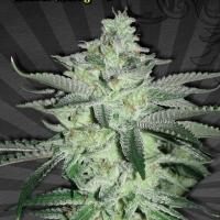 Diesel Berry Auto flowering Feminised Cannabis Seeds | Auto Seeds
