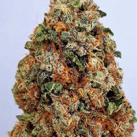 Dogstar Dawg Feminised Cannabis Seeds   Big Head Seeds