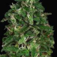 Don Critical Crack Feminised Cannabis Seeds | Don Avalanche Seeds