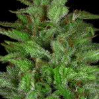 Don Gelato Auto Feminised Cannabis Seeds   Don Avalanche Seeds