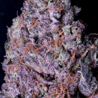 Don Gelato Feminised Cannabis Seeds | Don Avalanche Seeds