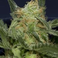 Don Gorilla Glue Auto Feminised Cannabis Seeds | Don Avalanche Seeds