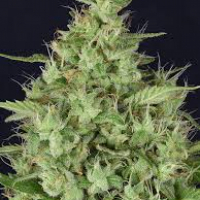 Don Star Dawg Feminised Cannabis Seeds | Don Avalanche Seeds