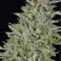 Don Wedding Cake Feminised Cannabis Seeds | Don Avalanche Seeds