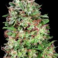 Don White Wdow Feminised Cannabis Seeds | Don Avalanche Seeds