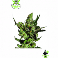 Double Cheese Feminised Cannabis Seeds | Dispensario Seeds