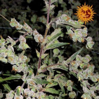 Dr Grinspoon Feminised Cannabis Seeds | Barney's Farm