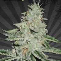 Dreamberry Auto flowering Feminised Cannabis Seeds | Auto Seeds