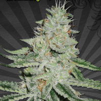 Dream Berry Regular Cannabis Seeds | Apothecary Genetics Seeds