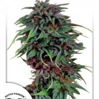 Durban Poison Regular Cannabis Seeds   Dutch Passion