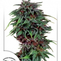 Durban Poison Feminised Cannabis Seeds | Dutch Passion