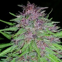 Erdpurt Feminised Cannabis Seeds | Ace Seeds