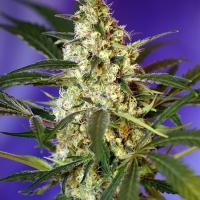 Fast Bud #2 Auto Feminised Cannabis Seeds | Sweet Seeds
