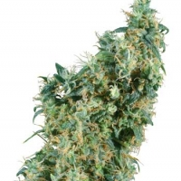 First Lady Regular Cannabis Seeds | Sensi Seeds