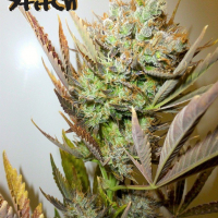 Ace Auto Feminised Cannabis Seeds | Flash Autos