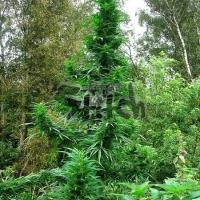 Doctor Shiva Feminised Cannabis Seeds