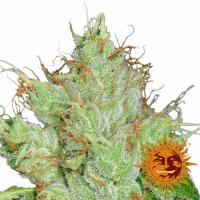 G13 Haze Regular Cannabis Seeds | Barney's Farm