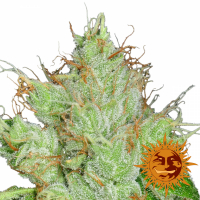 G13 Haze Regular Cannabis Seeds | Barney's Farm