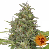 G13 Haze Feminised Cannabis Seeds | Barney's Farm