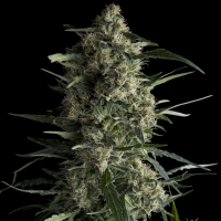 Galaxy CBD Feminised Cannabis Seeds | Pyramid Seeds