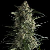 Galaxy CBD Feminised Cannabis Seeds | Pyramid Seeds