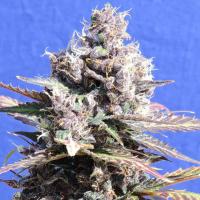 Gelato Feminised Cannabis Seeds | Original Sensible Seeds Company