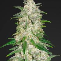 Gelato Auto Feminised Cannabis Seeds | Fast Buds