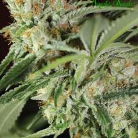 Ghost Train Haze #1 Feminised Cannabis Seeds - Anesia Seeds