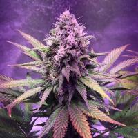 Glue Dream Feminised Cannabis Seeds | Top Shelf Elite